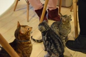 3 cats at the feet of some customers in a beijing cat cafe
