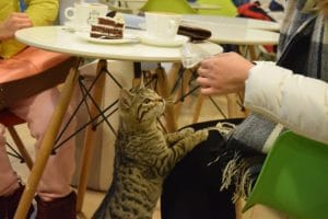 A cat reaching up from under a table for a treat in a beijing cat cafe