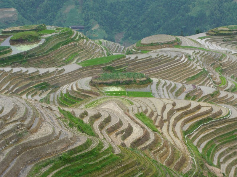 Green rice terraces rolling across fields