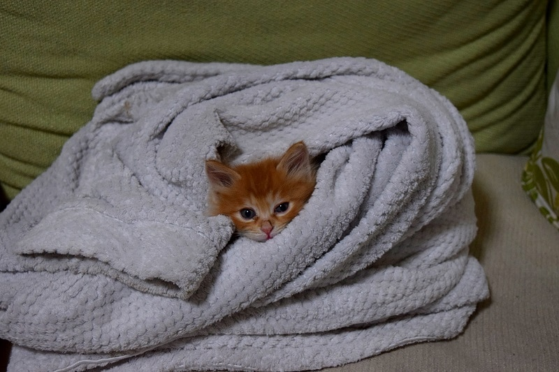 A small ginger kitten wrapped up in a very large dressing gown