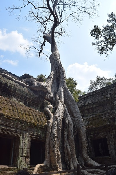 A large tree growing out of a ruin