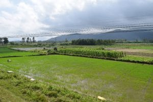 Green rice fields with mountains in the background