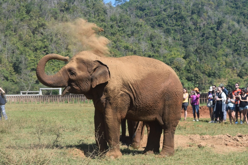 An elephant throws dust onto it's back to protect itself from the sun