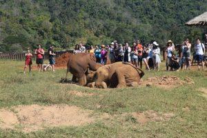 Baby Elephant Playing Elephant Nature Park Chiang Mai