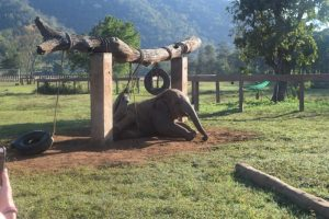 Elephant Playing on Tyre Elephant Nature Park Chiang Mai