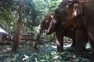 Elephants Stealing Food Elephant Nature Park Chiang Mai