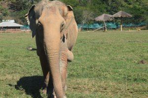 Ninety Year Old Elephant Elephant Nature Park Chiang Mai