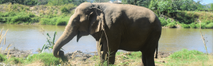 The Truth About Elephant Tourism in Thailand