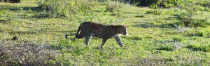 A sri lankan leopard at yala national park