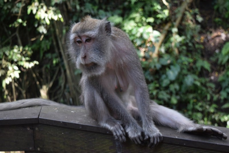 Old monkey sitting on a branch looking grumpy