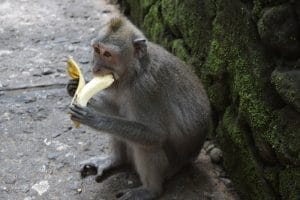 Monkey eating a big banana