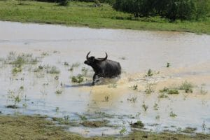 A buffalo running through the water at yala sri lankan safari