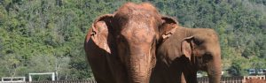Two elephants in the mountains in thailand