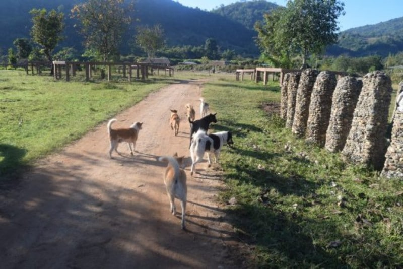 A collection of dogs running around at elephant nature park
