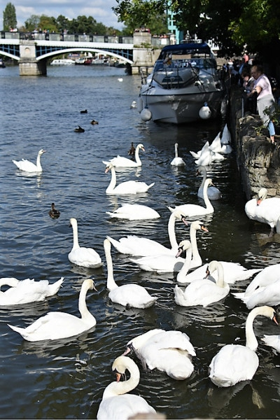 A large group of swans in the river windsor
