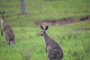 A kangaroo looking to the left of the camera in a green field