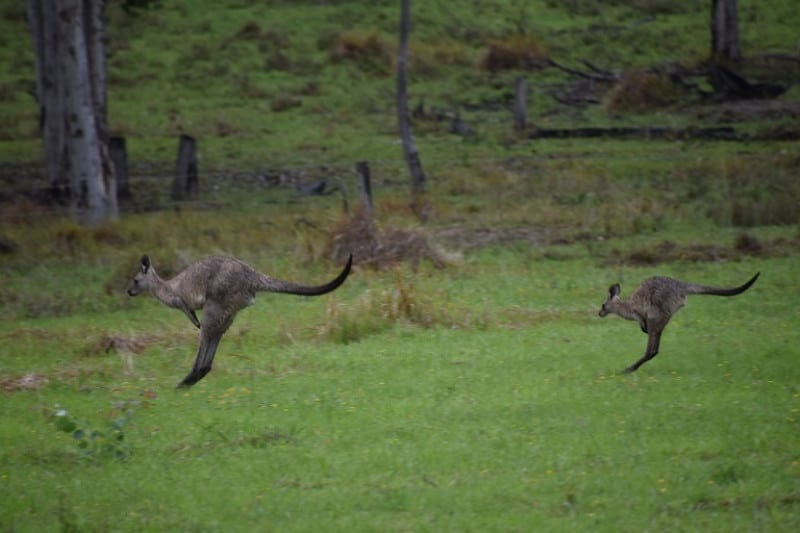 A mother kangaroo being followed by a child kangaroo