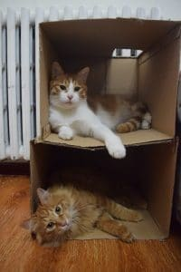 A fluffy ginger cat in a cardboard box and another white and ginger cat in a box on top of him