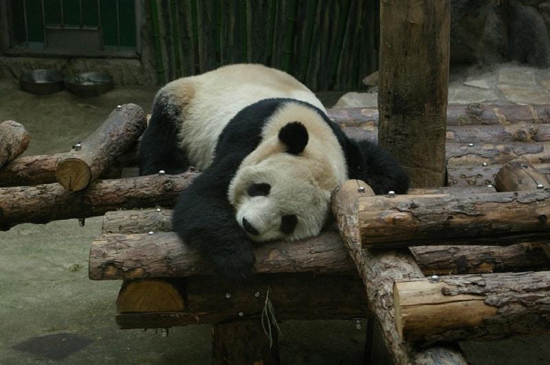 A panda looking like it asleep
