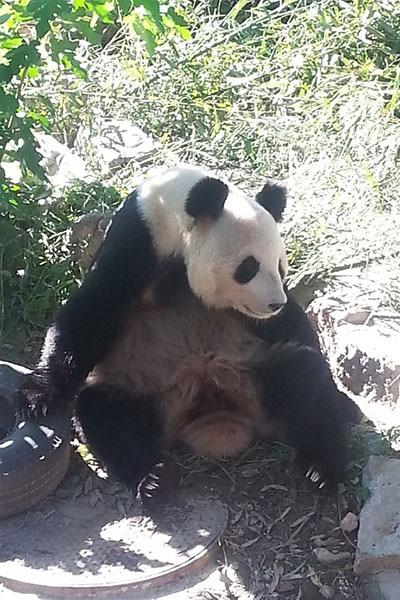 A panda looking hot and bothered