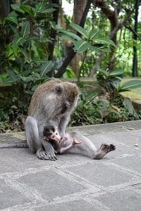 A mother monkey cradling a very small baby monkey
