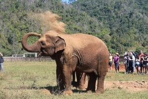 An Elephant throwing dust over itself in order to protect itself from the sun