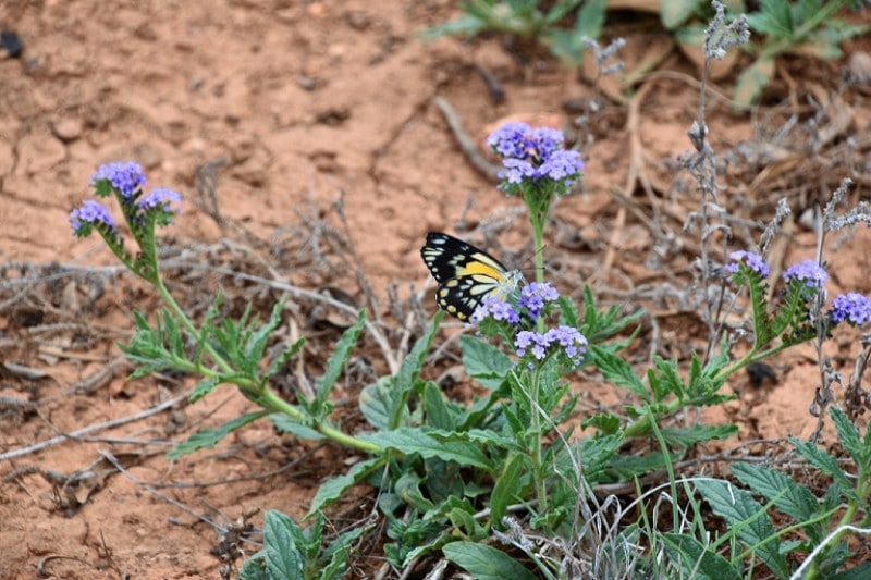 A black and yellow butterfly on a small flower in outback australia