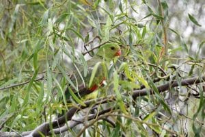 A well camouflaged parakeet in an outback town australia