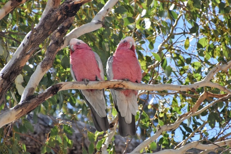 2 red chested birds sitting next to each other on a tree in an outback town australia
