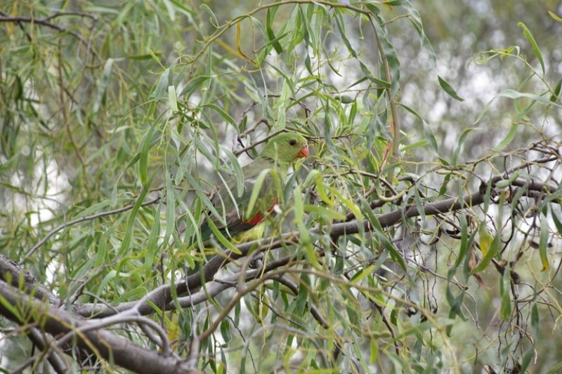 A green parakeet in outback australia