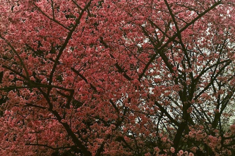 Pink blossoms on some trees