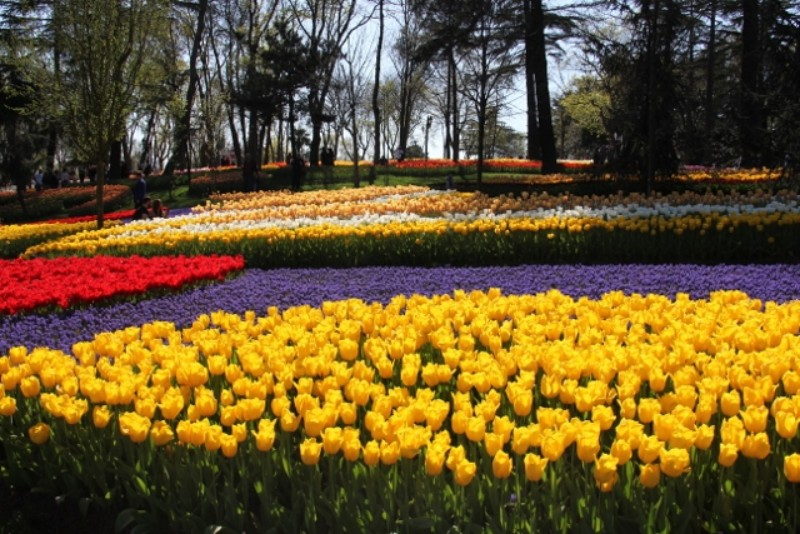 Rows of yellow, red and purples tulips