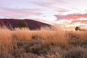 Uluru in the background and light brown grass in the front
