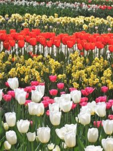 White, pink, yellow and red tulips all in rows