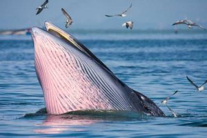 A bryde's whale breaching the surface of the water
