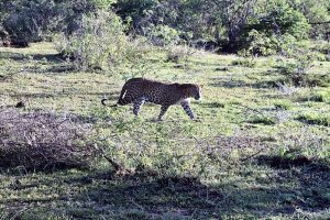 A Sri Lankan Leopard walking through the short grass