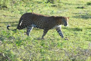 Leopard in Sri Lanka walking amongst the grass