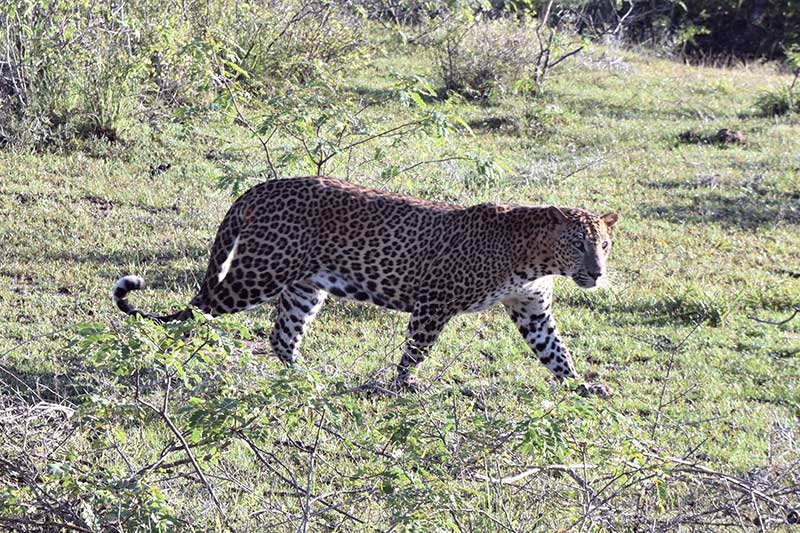 A leopard in short green grass.