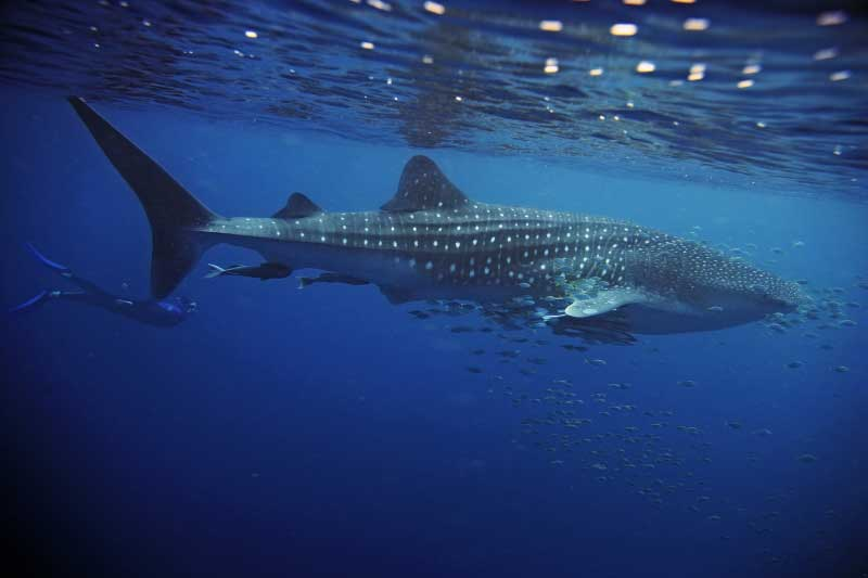 A whale shark swimming close to the surface of the water