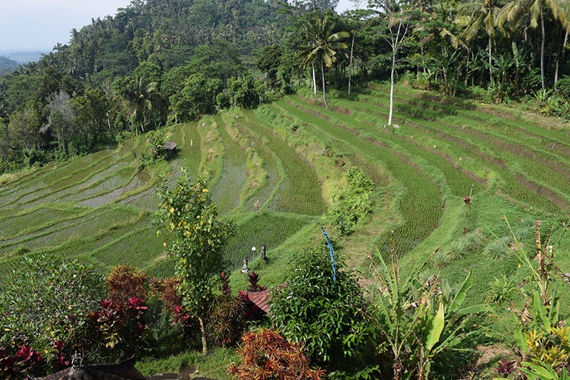 A view of rice paddies in bali, pictured whilst backpacking bali on a budget