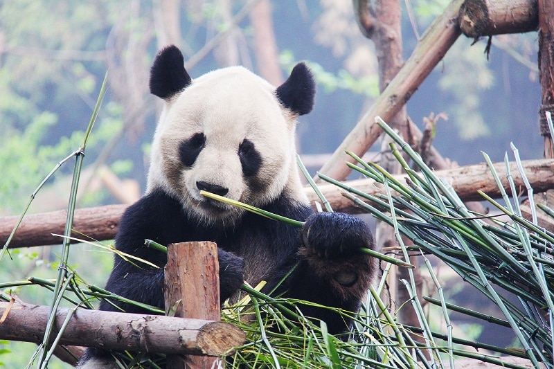 A panda sitting on a wooden frame eating some bamboo
