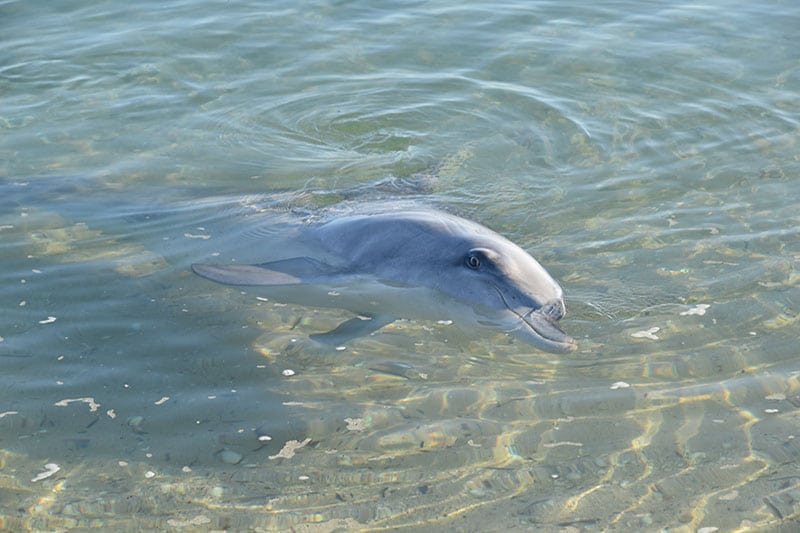 A dolphin in shallow water pictured whilst backpacking Australia