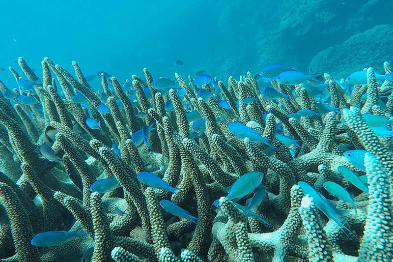 Many blue fish in the coral at the great barrier reef seen whilst backpacking australia
