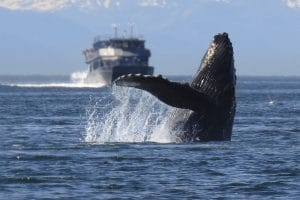 A humpback whale breaching above the water
