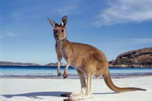 A kangaroo sitting on a beach