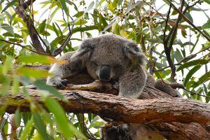 A koala on a tree in magnetic island pictured whilst backpacking Australia