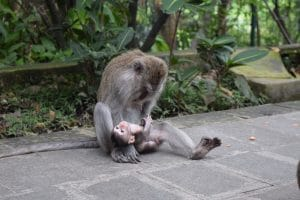 A monkey and baby in the sacred monkey forest. you should see these on the third day of the 7 day bali itinerary