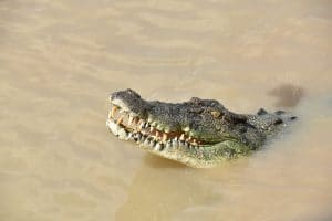 A wild saltwater crocodile seen whilst backpacking australia