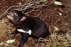 A tasmanian devil in tasmania