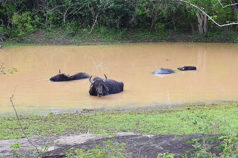 3 wild buffalo bathing in a muddy pool, pictured whilst on a sri lanka safari